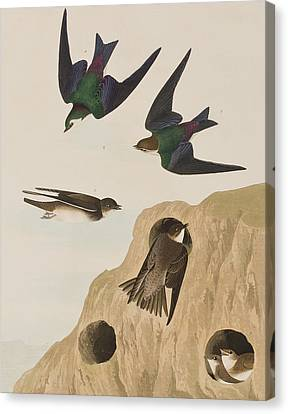 Bank Swallows Canvas Print by John James Audubon
