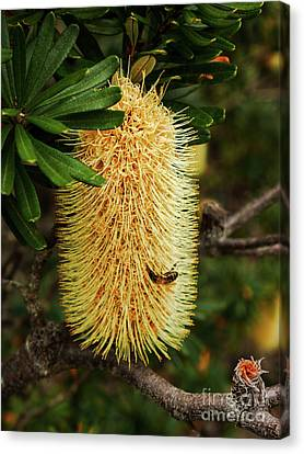 Banksia In Bloom 2 Canvas Print by Lexa Harpell
