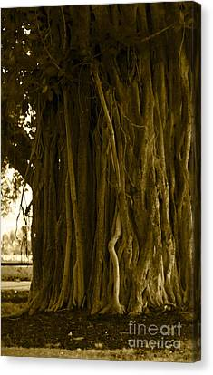Banyan Surfer - Triptych  Part 1 Of 3 Canvas Print by Sean Davey