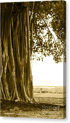 Banyan Surfer - Triptych  Part 2 Of 3 Canvas Print by Sean Davey