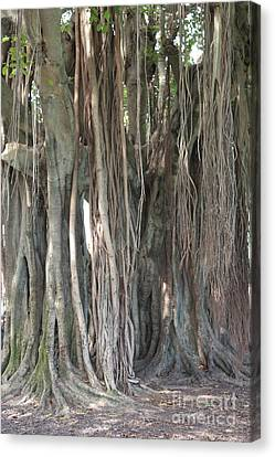 Banyan Tree Canvas Print by Carol Groenen