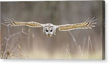 Barred Owl In Flight Canvas Print by Scott  Linstead