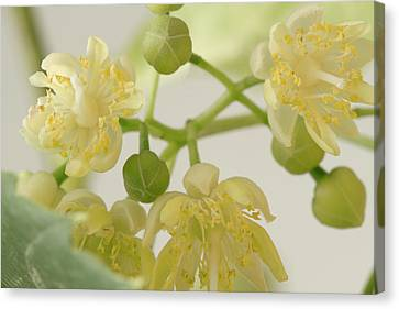 Basswood Tree Blossoms - Macro Canvas Print by Sandra Foster