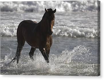 Bay Andalusian Stallion In The Surf Canvas Print by Carol Walker