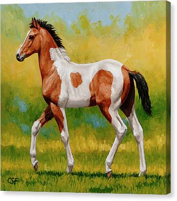 Bay Pinto Foal Canvas Print by Crista Forest