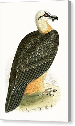 Bearded Vulture Canvas Print by English School