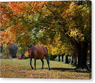 Beautiful Bay Horse In Fall Canvas Print by Sandi OReilly