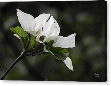 Beautiful Dogwood Canvas Print by Claude Dalley