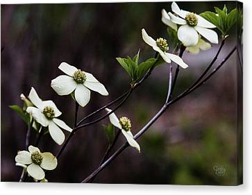 Beautiful Dogwoods Canvas Print by Claude Dalley