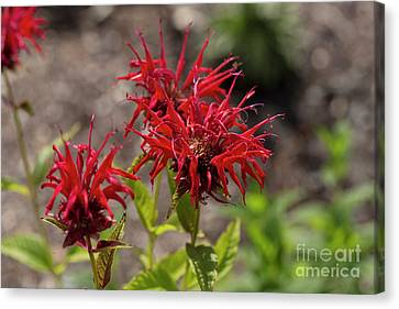 Beautiful Red Bee Balm Jacob Cline Canvas Print by Louise Heusinkveld