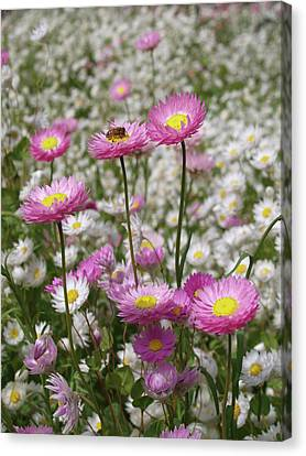 Bee And Daisy Canvas Print by Michaela Perryman