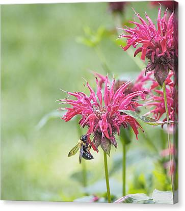 Bee Balm Square Canvas Print by Marianne Campolongo