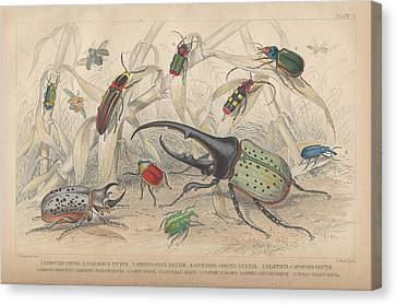 Beetles Canvas Print by Oliver Goldsmith