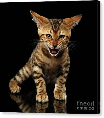 Bengal Kitty Stands And Hissing On Black Canvas Print by Sergey Taran
