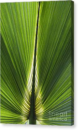Bermuda Palmetto Palm Leaf Canvas Print by Tim Gainey