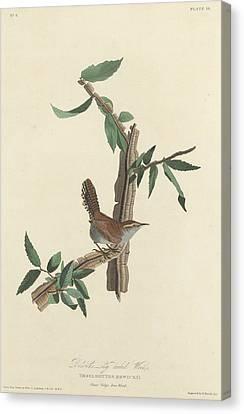 Bewick's Long-tailed Wren Canvas Print by John James Audubon