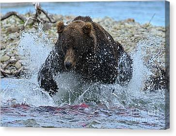 Big Brown Bear Trying To Catch Salmon In Stream Canvas Print by Dan Friend