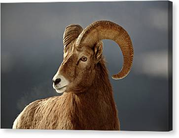 Bighorn Sheep In Winter Canvas Print by Mark Duffy