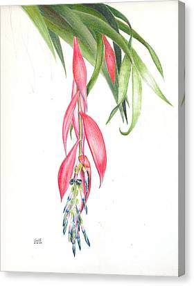Billbergia 'windii' Canvas Print by Penrith Goff