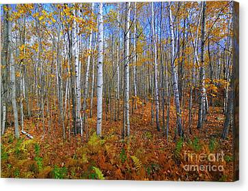 Birch Forest Autumn  Canvas Print by Catherine Reusch  Daley