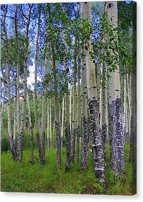 Birch Forest Canvas Print by Julie Lueders