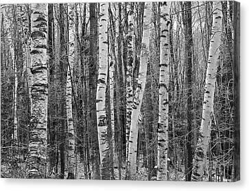 Birch Stand Canvas Print by Ron Kochanowski - www.kochanowski.us