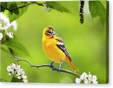 Bird And Blooms - Baltimore Oriole Canvas Print by Christina Rollo