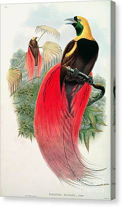 Bird Of Paradise Canvas Print by John Gould