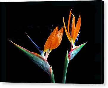 Birds Of Paradise Canvas Print by Terence Davis