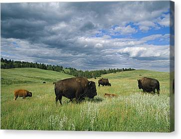 Bison And Their Calves Graze In Custer Canvas Print by Annie Griffiths