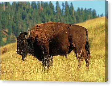 Bison Bull In The Late Evening Magic Light Canvas Print by Jerry Voss