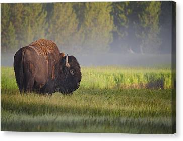 Bison In Morning Light Canvas Print by Sandipan Biswas