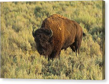 Bison Canvas Print by Sebastian Musial