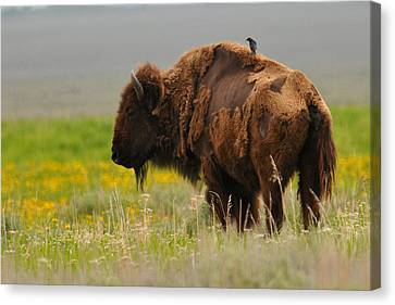 Bison With Cowbird On Back Canvas Print by Alan Lenk