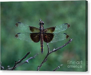 Dragon Black And Glass Canvas Print by Skip Willits