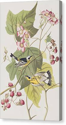 Black And Yellow Warblers Canvas Print by John James Audubon