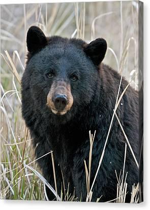 Black Bear Closeup Canvas Print by Gary Langley