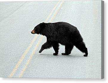 Black Bear Crossing The Road  Canvas Print by Pierre Leclerc Photography