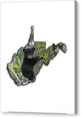 Black Bear Cub Climbing Down A Tree Canvas Print by Dan Friend