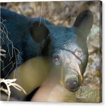 Black Bear Oh My Canvas Print by Betsy C Knapp