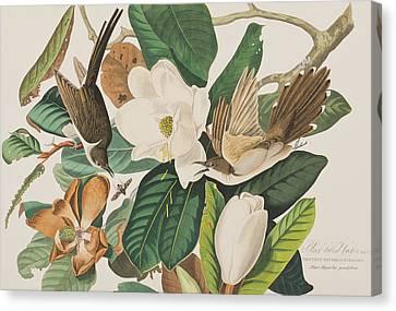 Black Billed Cuckoo Canvas Print by John James Audubon