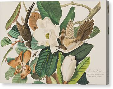 Black Billed Cuckoo Canvas Print by John James Audubon