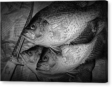 Black Crappie Panfish With Fish Filet Knife In Black And White Canvas Print by Randall Nyhof