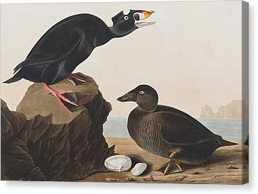 Black Duck Or Surf Duck Canvas Print by John James Audubon