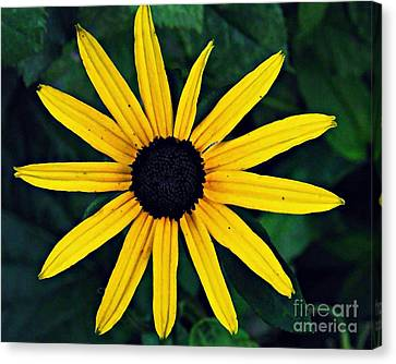 Black-eyed Susan Canvas Print by Sarah Loft
