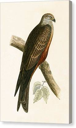 Black Kite Canvas Print by English School