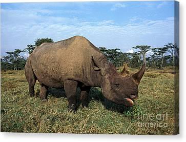 Black Rhinoceros Diceros Bicornis Canvas Print by Gerard Lacz