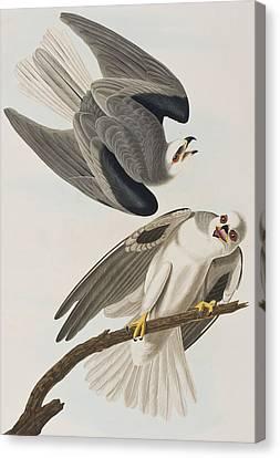 Black Shouldered Elanus Canvas Print by John James Audubon