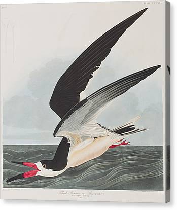 Black Skimmer Or Shearwater Canvas Print by John James Audubon