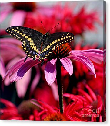 Black Swallowtail Butterfly On Coneflower Square Canvas Print by Karen Adams